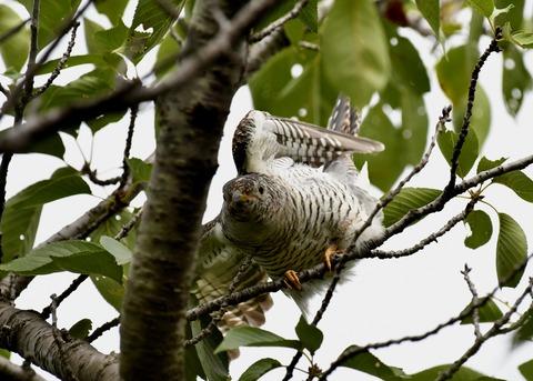 ツツドリ幼鳥5540