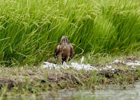 オオタカ若鳥2992
