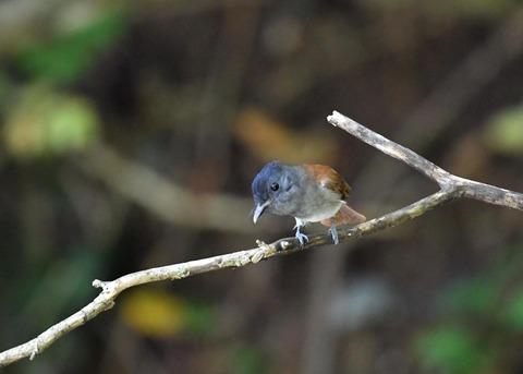 サンコウチョウ幼鳥5606