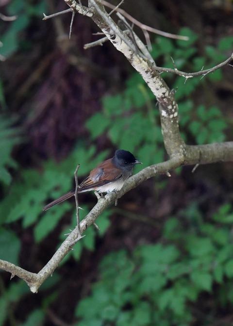 サンコウチョウ幼鳥9404