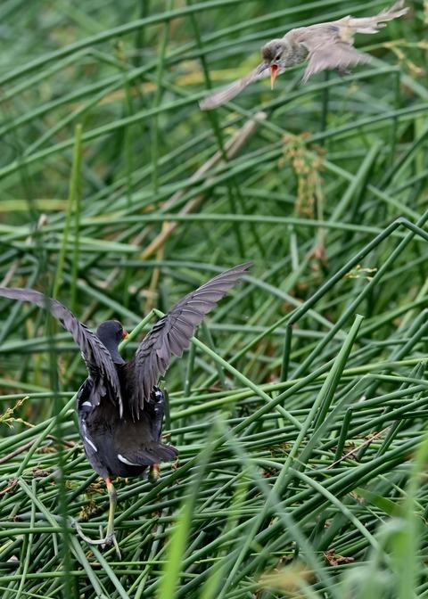 オオヨシキリ幼鳥8568