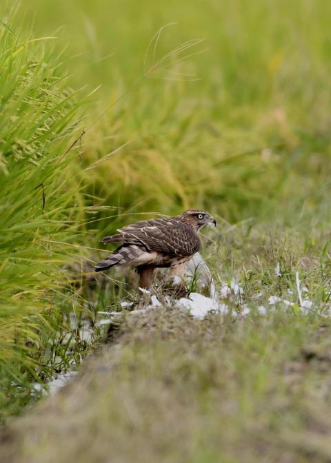 オオタカ若鳥3070
