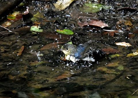 コルリ♂幼鳥4124