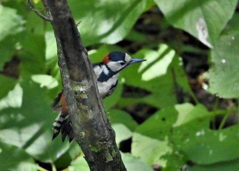 アカゲラ♂幼鳥3023