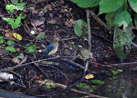 オオルリ♂幼鳥4125