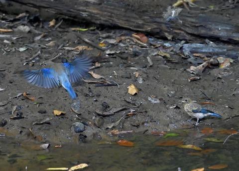 オオルリ幼鳥①②6322