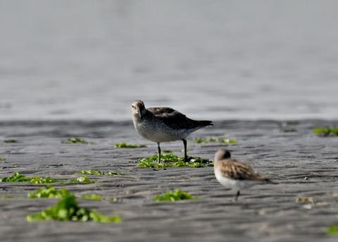 コオバシギ幼鳥4295