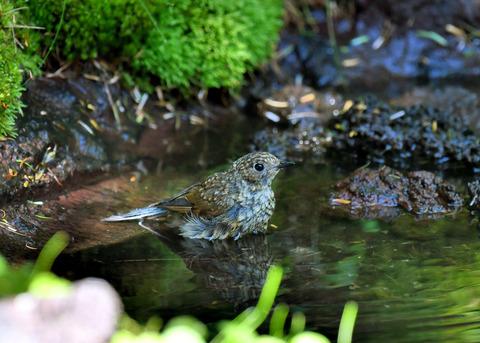 ルリビタキ幼鳥1892