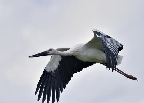 飛ぶ・コウノトリ3093