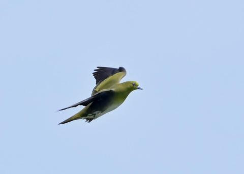 飛ぶ・アオバト♀4124