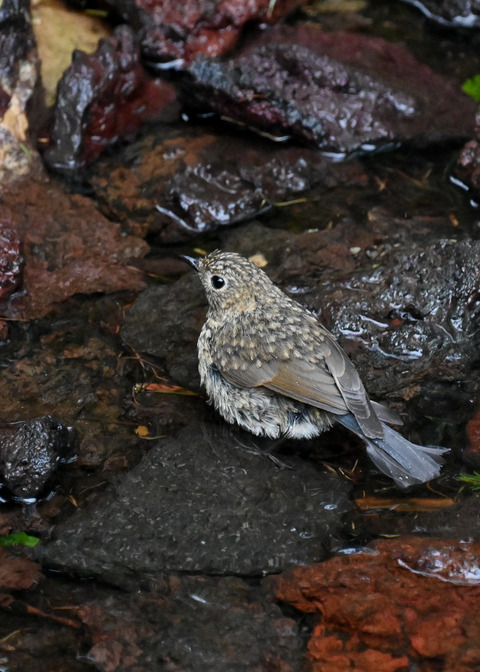 ルリビタキ幼鳥8322