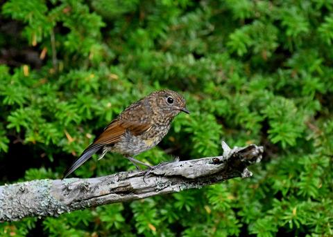 ルリビタキ幼鳥8367