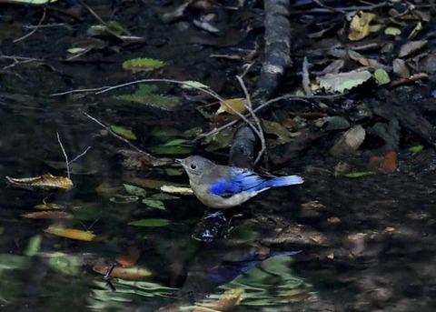 オオルリ幼鳥♂8307