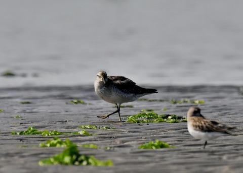 コオバシギ幼鳥4298