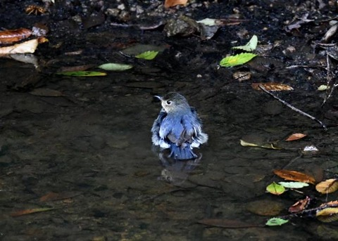 コルリ♂幼鳥7316