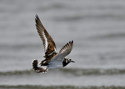 飛ぶ・キョウジョシギ8560