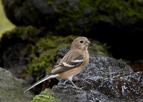 ベニマシコ♀冬羽1820