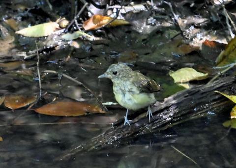 キビタキ幼鳥3408