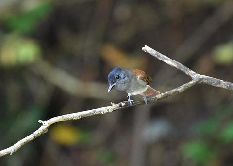 サンコウチョウ幼鳥5608