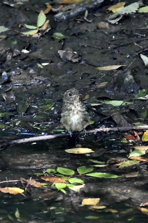 オオルリ幼鳥♂8071-01