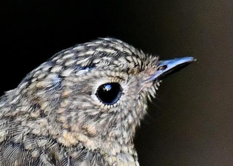 ルリビタキ幼鳥2550-01