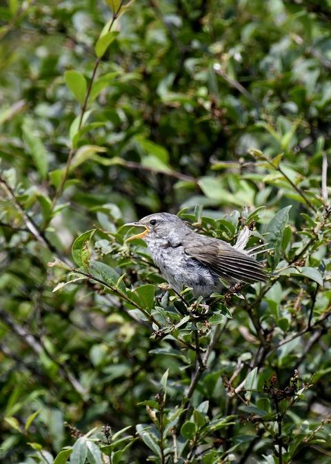 ウグイス幼鳥2595 - コピー