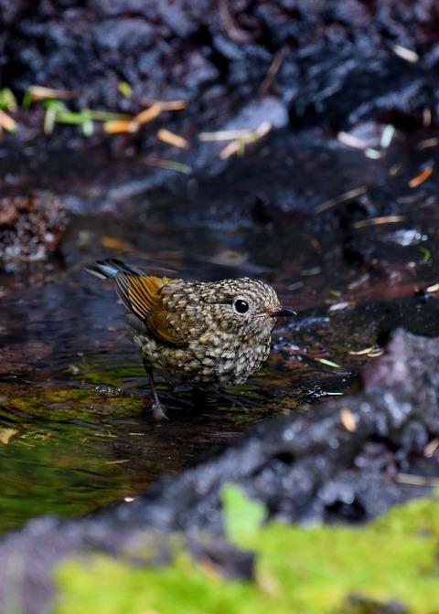 ルリビタキ幼鳥3051