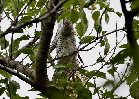 ツツドリ幼鳥5576