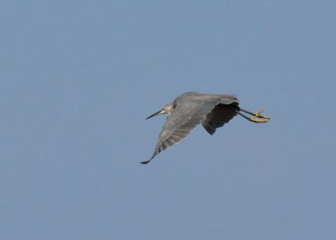 飛ぶ・コサギ・暗色型4472