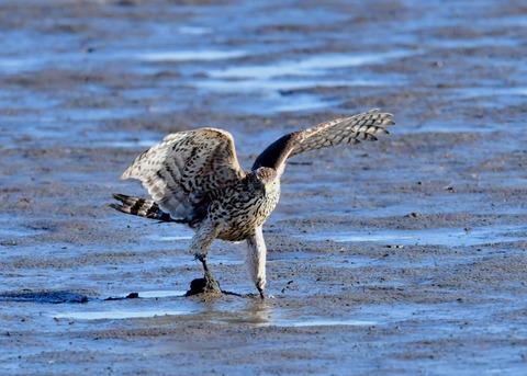 オオタカ若鳥0799