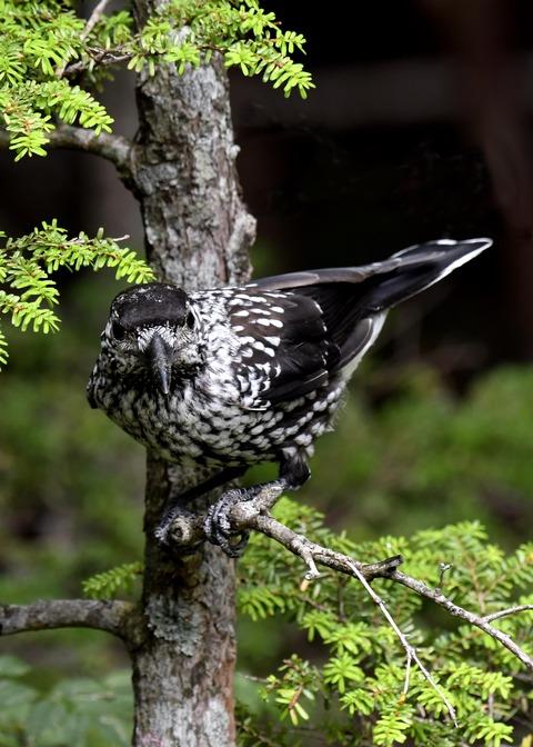 ホシガラス幼鳥3139