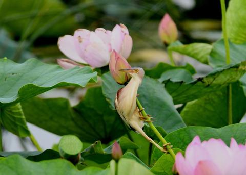 ヨシゴイ(蓮花)2038