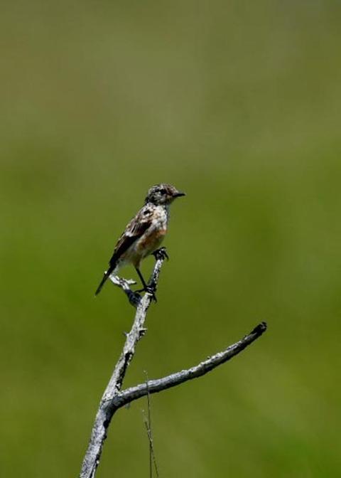 ノビタキ幼鳥5220