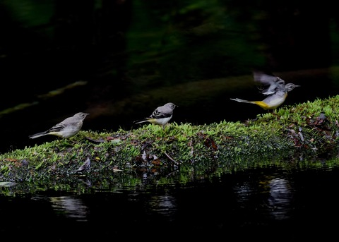 キセキレイ幼鳥8207