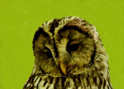 フクロウ♀5917