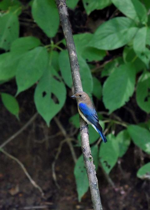 オオルリ♂幼鳥4121
