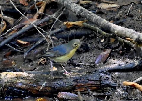 コルリ♂幼鳥2637