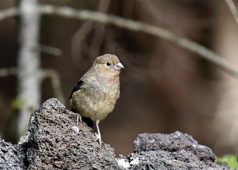 ウソ幼鳥8498
