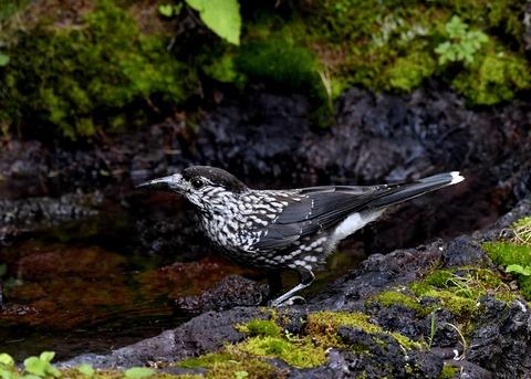 ホシガラス幼鳥3240