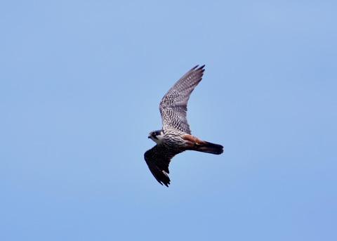 飛ぶ・チゴハヤブサ♂0941