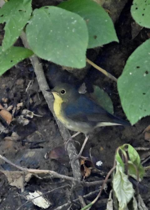 コルリ♂幼鳥2560
