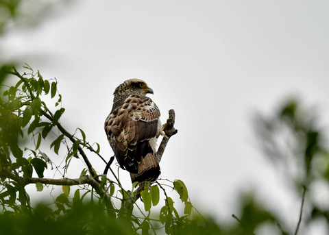 カンムリワシ若鳥6524