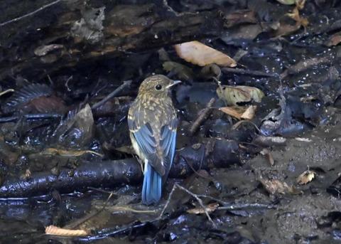 オオルリ♂幼鳥4407
