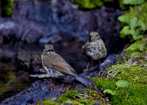 ルリビタキ幼鳥1226