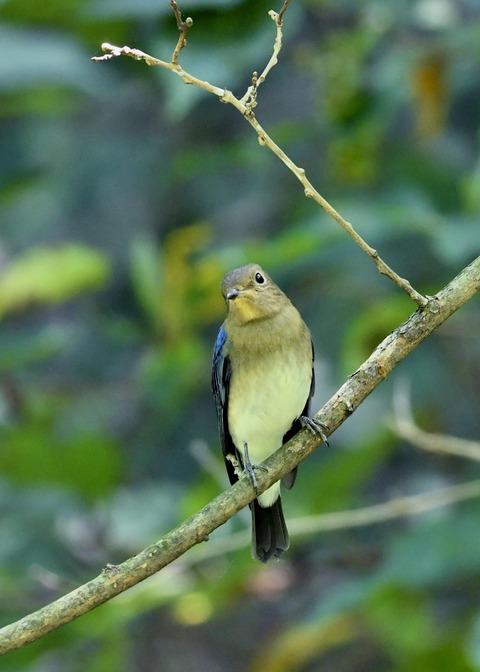 オオルリ♂若鳥0794
