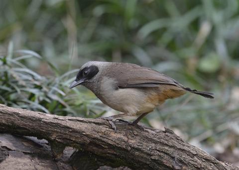カオグロガビチョウ・若鳥・6117