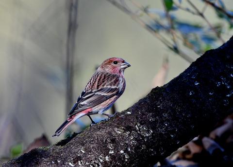 オオマシコ若鳥9195