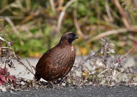 コリンウズラ若鳥1779