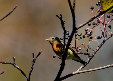 ムギマキ若鳥③♂2425