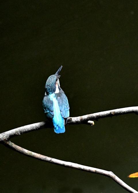 カワセミ若鳥4235